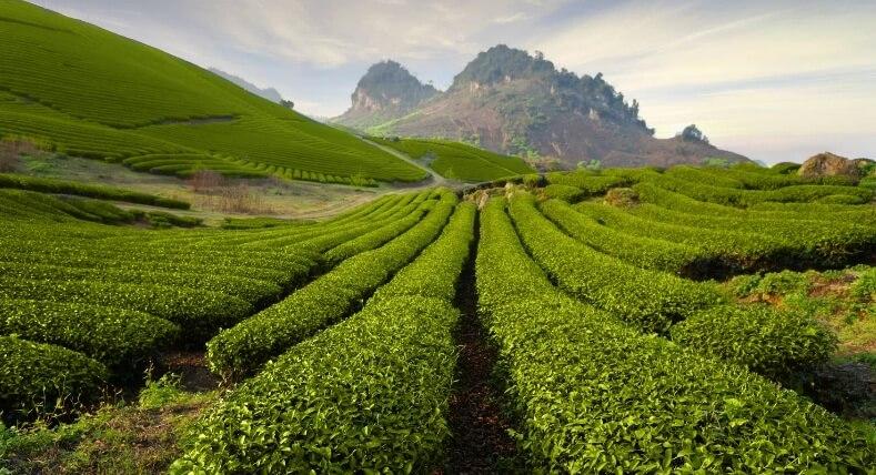 Tea plantation in Moc Chau