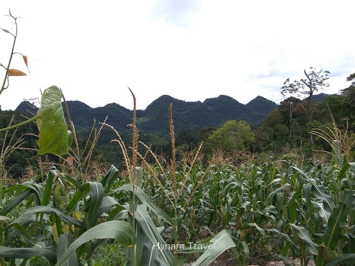 Mai Chau corn field