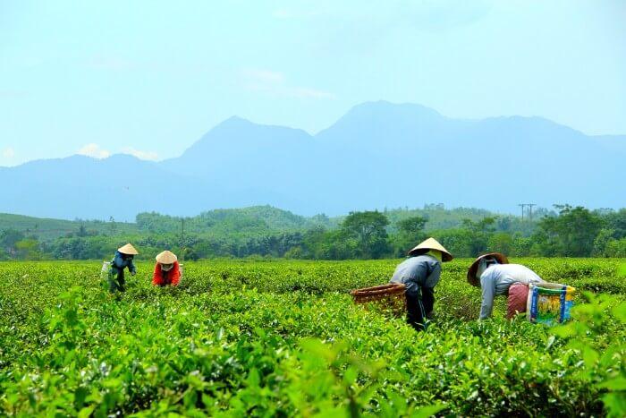Dong Giang tea plantation