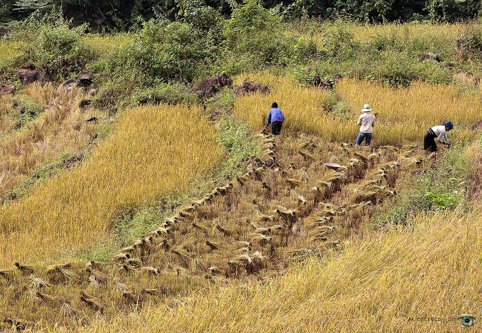 Rice harvesting in the Kho Muong area