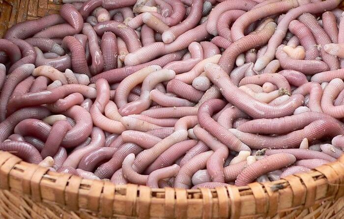 Vietnam sea worm